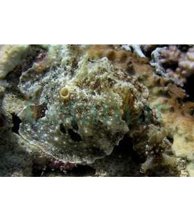 Dolabella Auricularia (Talla XL)