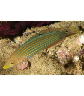 Platyglossus melanurus (Talla M)
