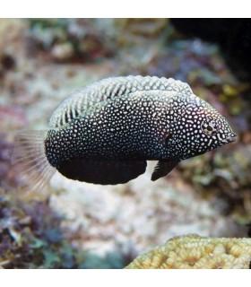 Macropharyngodon negrosensis