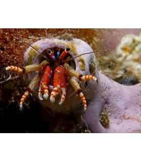 Calcinus patas rojas (Talla M)