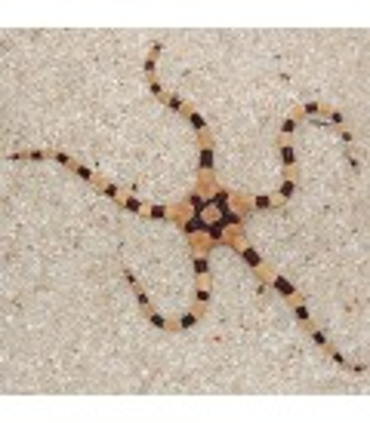 Ophiolepis superba