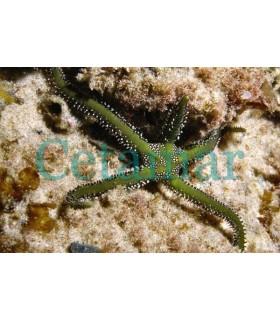 Ophiarachna incrassata (Talla M)