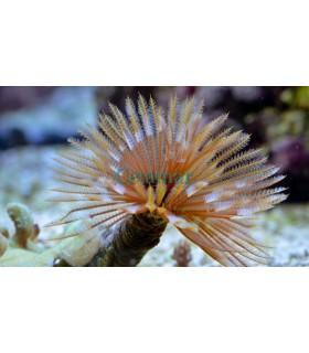 Sabellastarte spectabilis (Talla M)