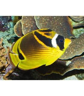 Chaetodon Lunula (Talla M)