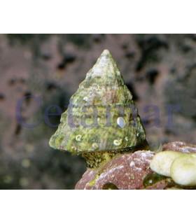 Caracol Tectus Fenestratus