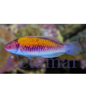 Cirrhilabrus aurantidorsalis (Talla M)