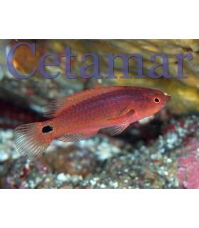Cirrhilabrus exquisitus hembra (Talla M)