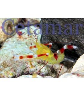 Stenopus zanzibaricus (Talla M)