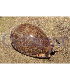 Caracol Cypraea Arabica (Talla M)