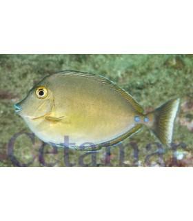 Naso Unicornis Juvenile (Talla M)