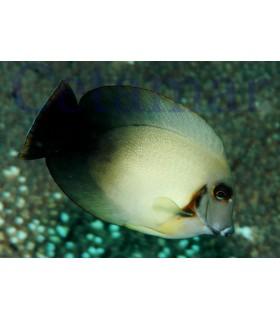 Acanthurus Pyroferus Half Black (Talla M)