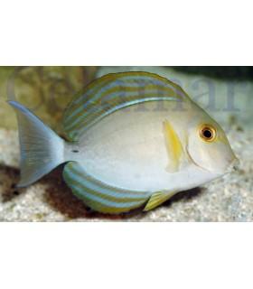Acanthurus xanthopterus (Talla M)