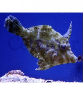 Acreichthys tomentosus Seagrass Filefish (Talla S)