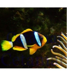 Amphiprion Clarkii (Talla S)