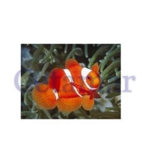 Premnas biaculeatus Spine-Cheeked Anemonefish