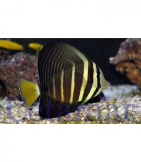 Zebrasoma Veliferum (Talla M)