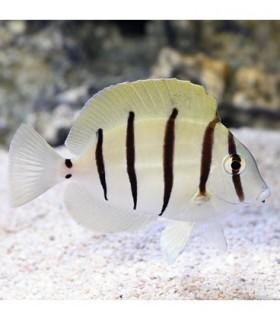 Acanthurus triostegus convict Surgeonfish (Talla S)