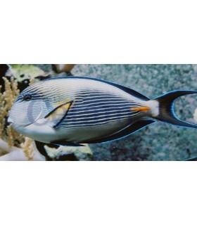 Acanthurus Sohal (Talla S/M: 5-7cm)