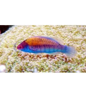 Cirrhilabrus cyanopleura (Talla L)