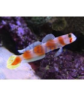 Amblyeleotris Aurora (Talla L)