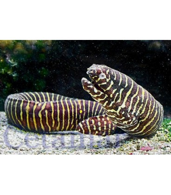 Gymnomuraena zebra (Talla M)