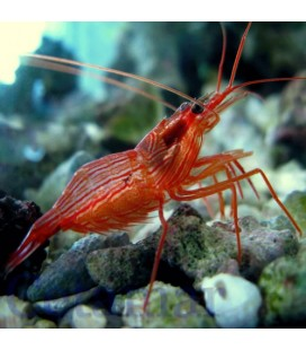 Lysmata wurdemani, Peppermint shrimp (Talla S/M)