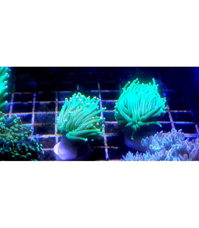Euphyllia Grabensis Green Toxic