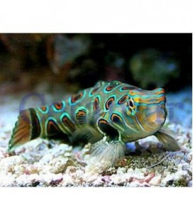 Synchiropus picturatus Psychedelic Dragonet (Talla M)