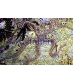 Ophiomastix annulosa (Talla M)