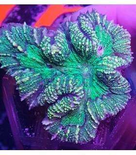 Trachyphyllia Geoffroyi Australia premium
