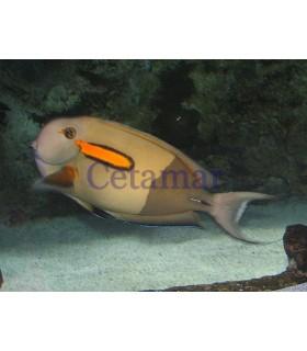 Acanthurus olivaceus (Talla M)