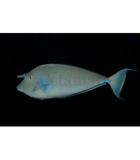 Naso vlamingi Vlaming's Unicornfish (Talla S)