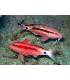 Parupeneus spp. (Talla M)